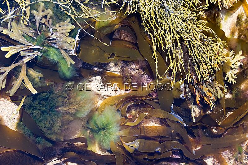 zeewier