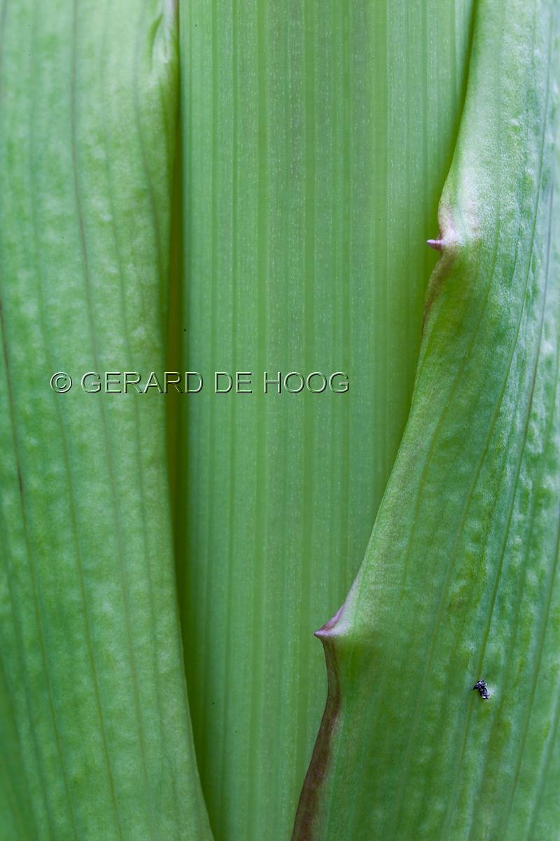 blad van schermbloem